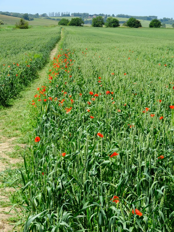 Poppies and crop