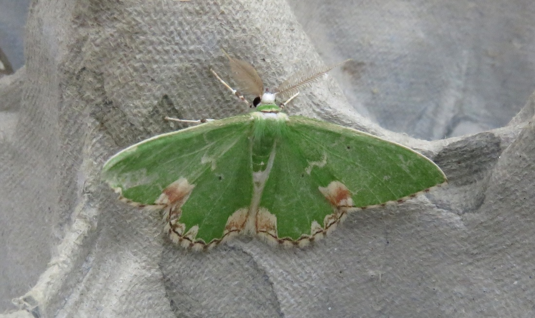 Some sort of green moth