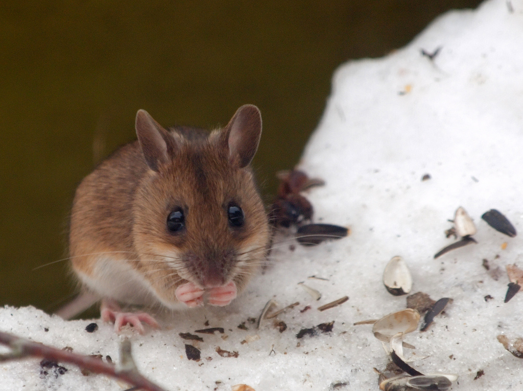 Wood mouse in snow