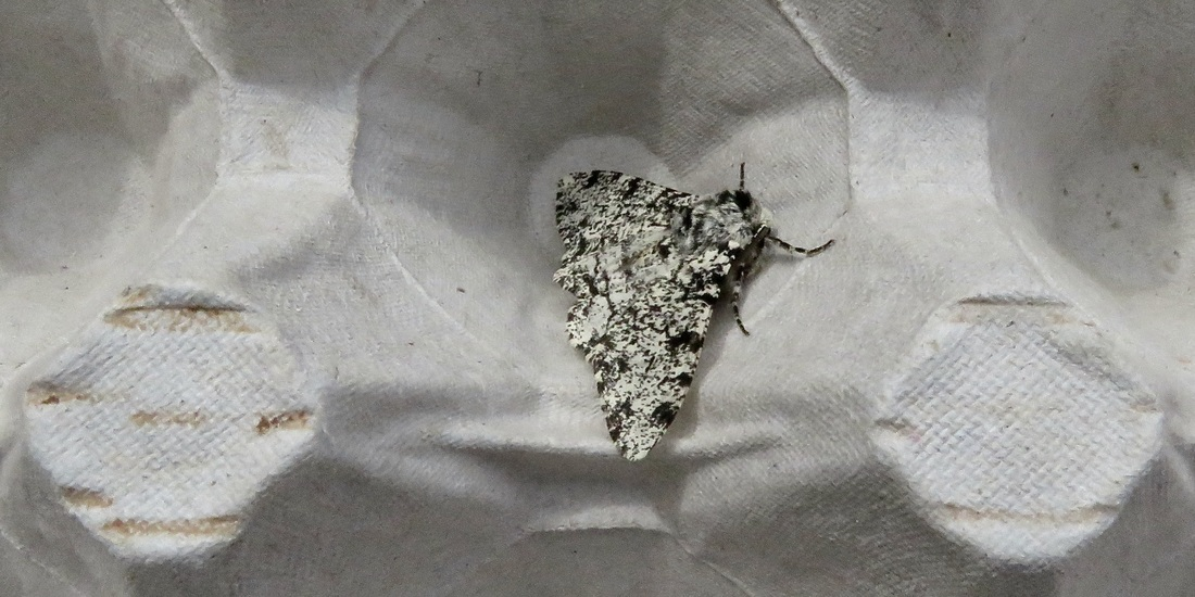 Peppered moth - I think!