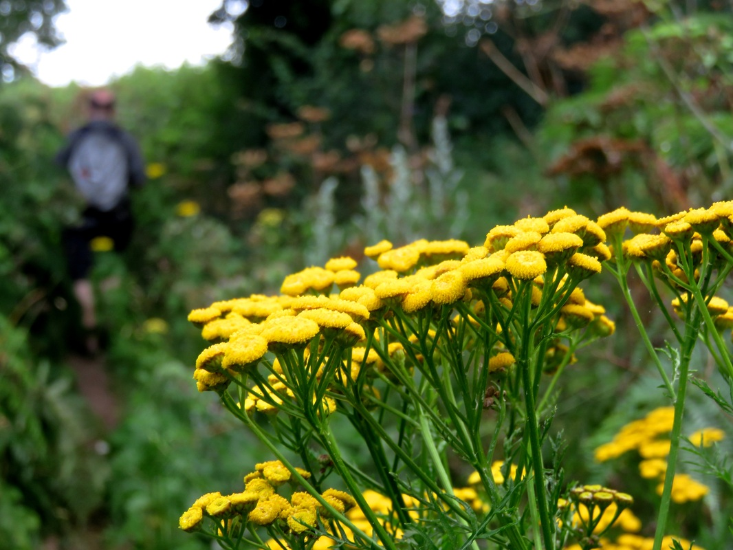 yellow button flowers (tansy)