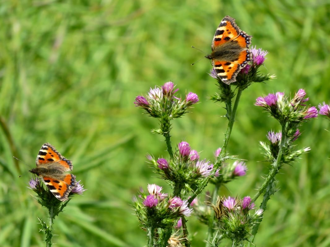 two orange patterned butterflies on pink flowers
