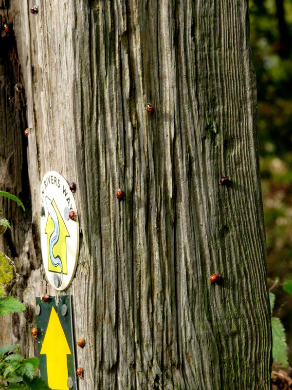 ladybirds on post