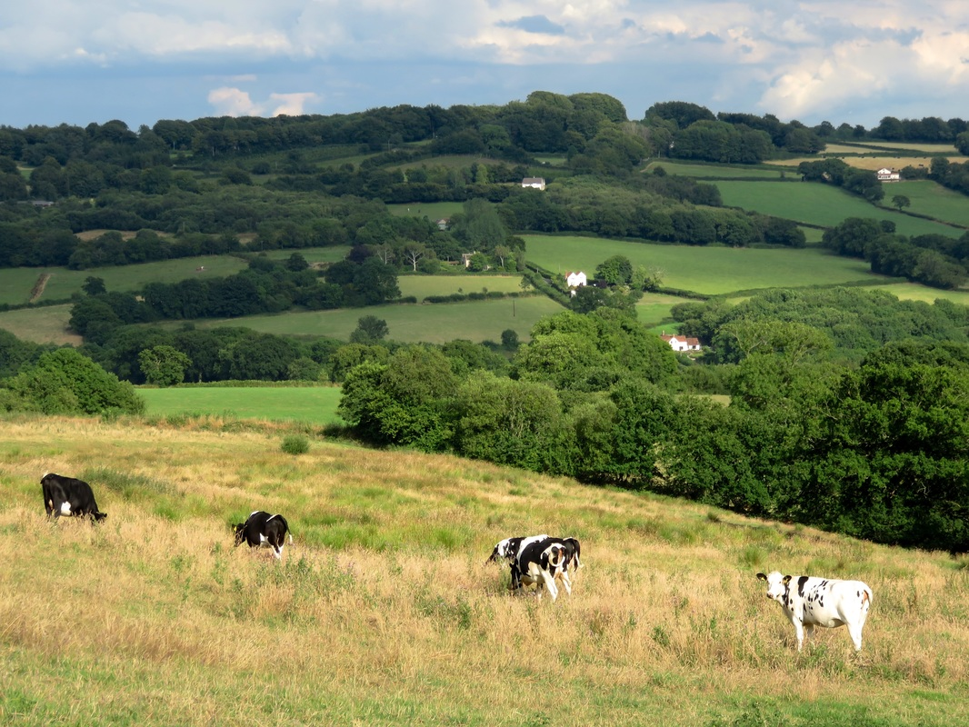 cows and landscape
