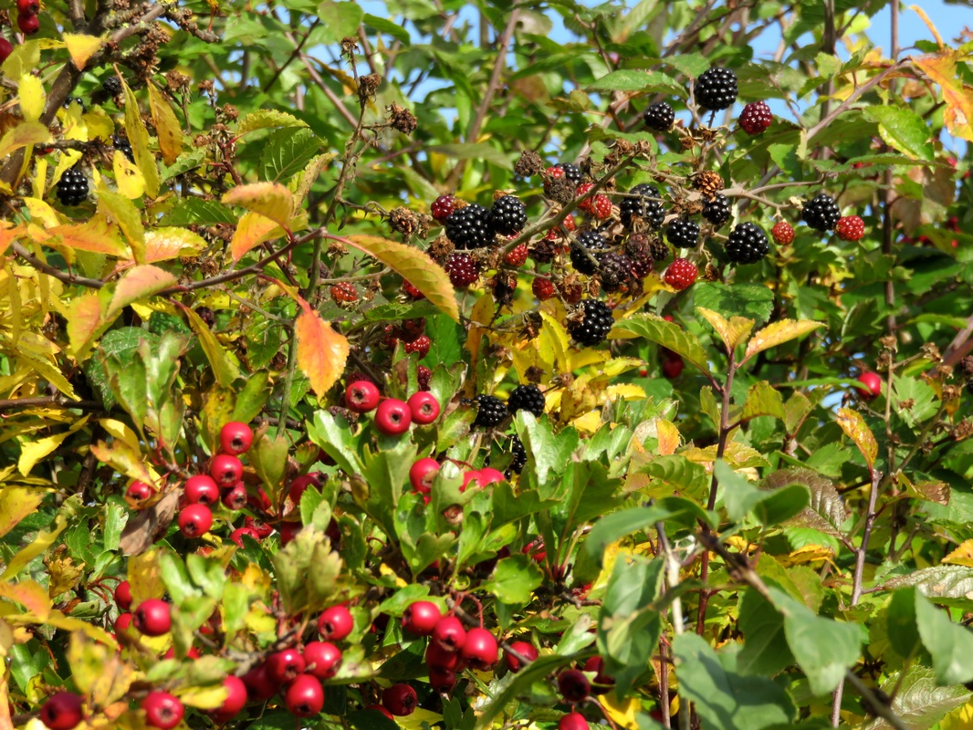 hawthorn and blackberries