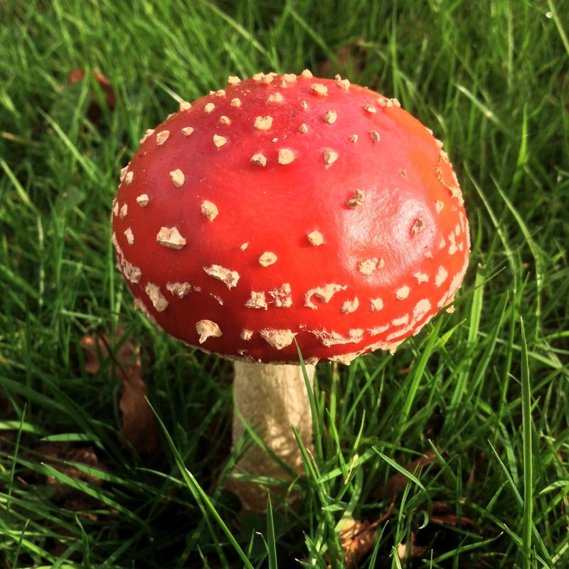 Red toadstool with white spots
