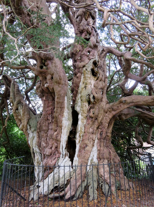 Trunk of huge yew tree