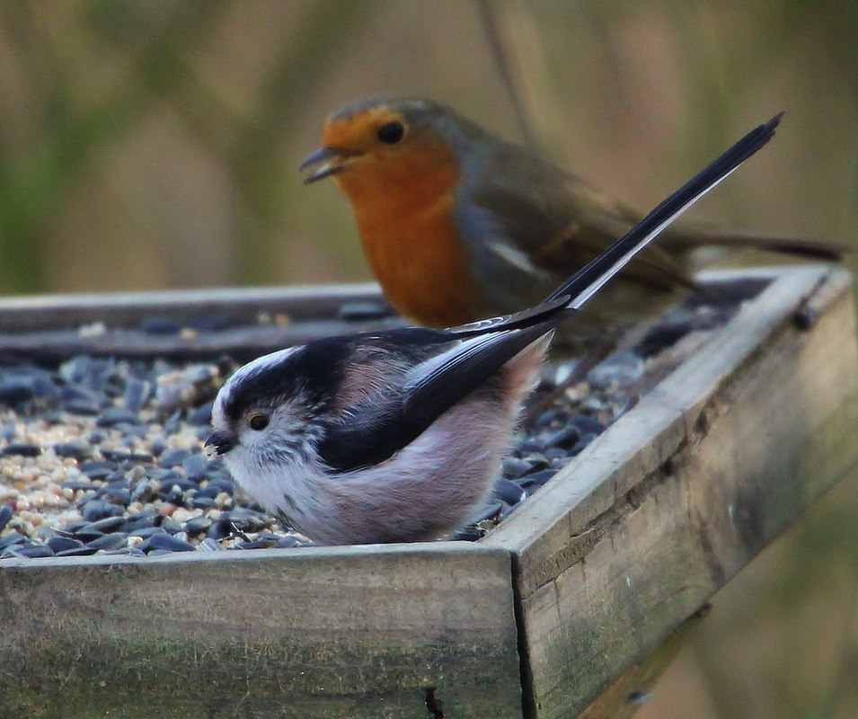 Long-tailed tit and robin