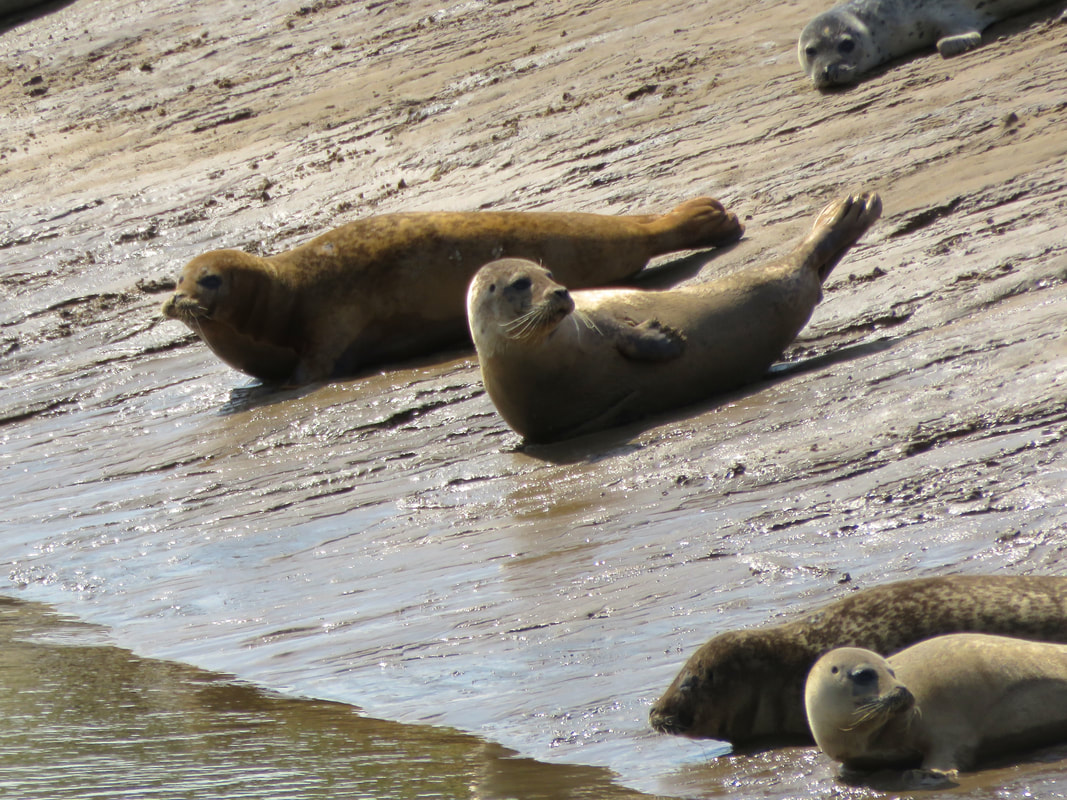 Adult and juvenile seals on a sandy/muddy bank
