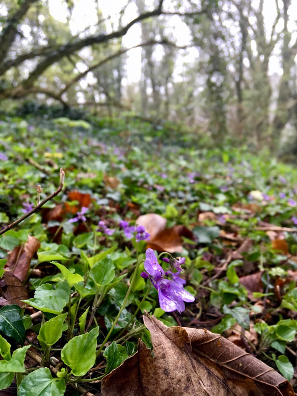 Close up of violets in a wood