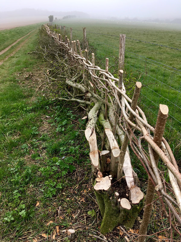 Freshly laid hedge along a fence