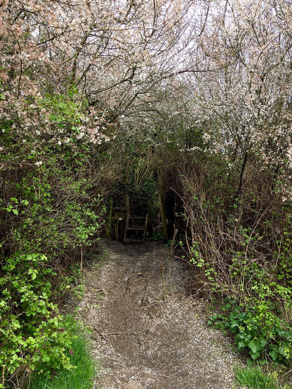 Footpath through tree-tunnel with blossoms on trees and ground