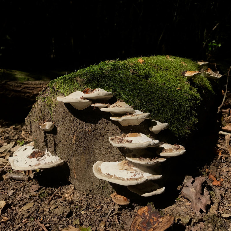 many bracket fungi on a log