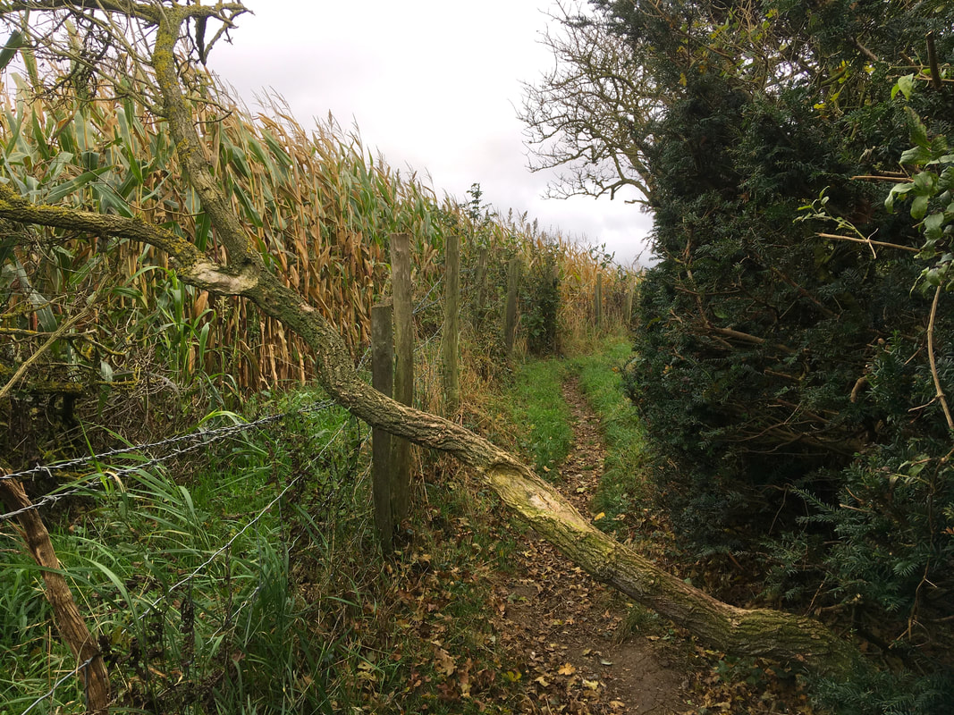 Small fallen tree across a path bordered by maize and hedge